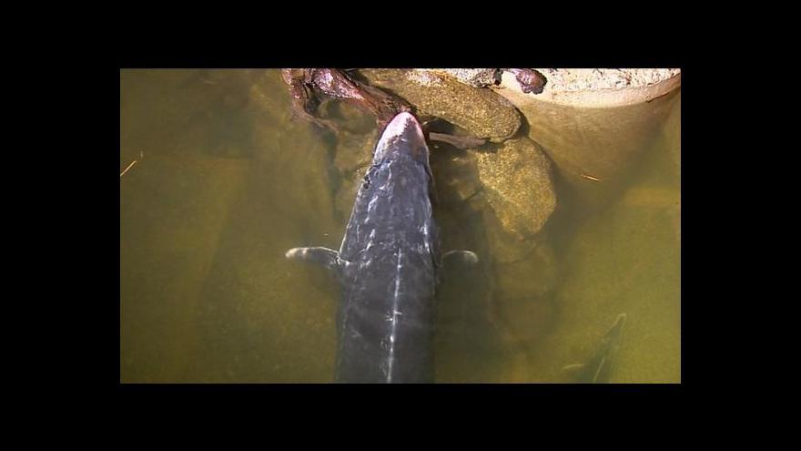 Video Rybí unikát u zámku Orlík