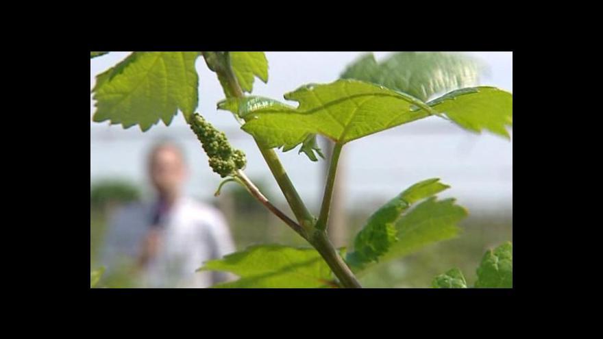 Video Slovenští vinaři nemají život snadný