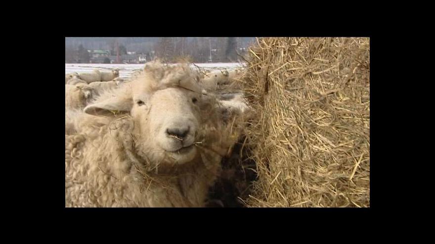 Video Vlastimil Weiner o krkavci a ovcích