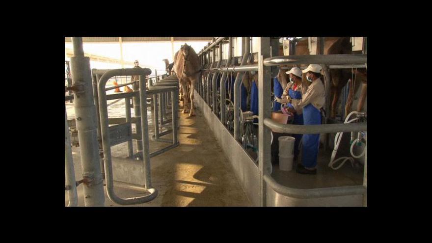 Video Velbloudí mléko se chystá do Evropy