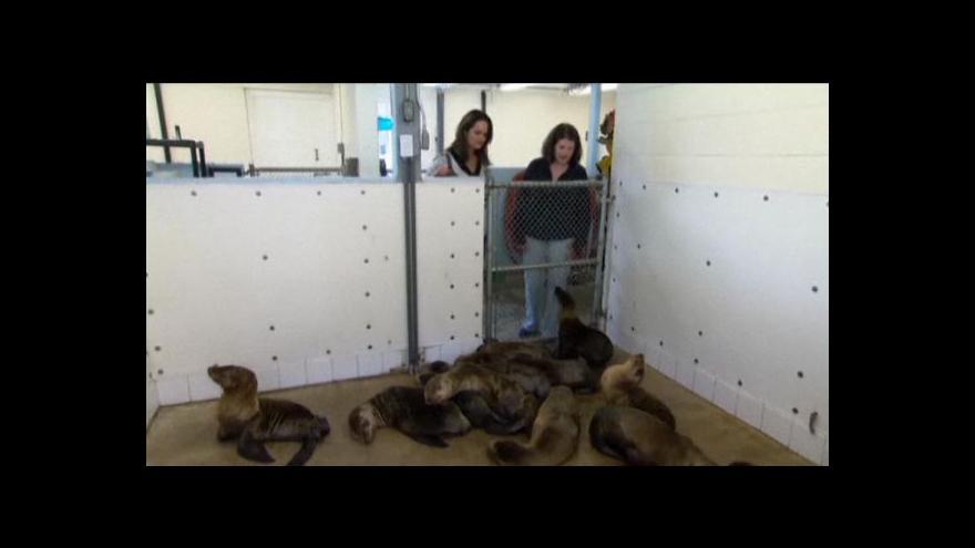 Video V Kalifornii zachraňují lachtaní mláďata
