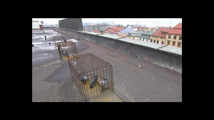 Video Města bojují s holuby