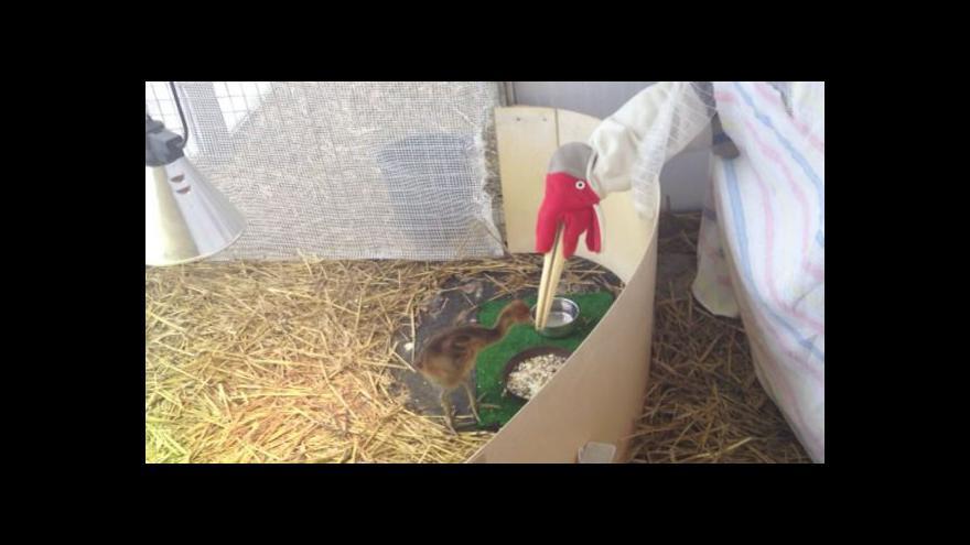 Video Inspektor chovu ptáků Václav Štraub o péči o jeřába