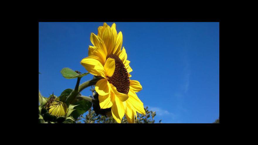 Video Thajské slunečnice lákají turisty