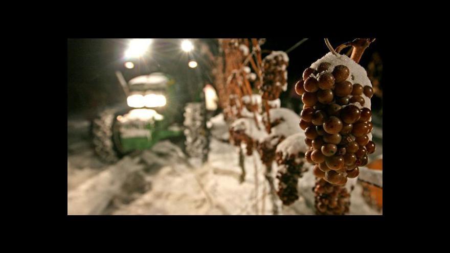 Video Začal sběr ledového vína