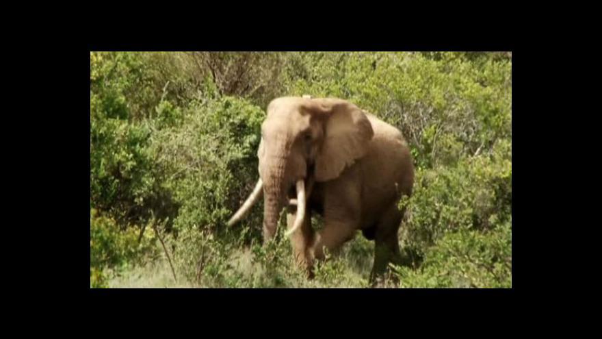 Video Afrika prohrává boj s vybíjením slonů