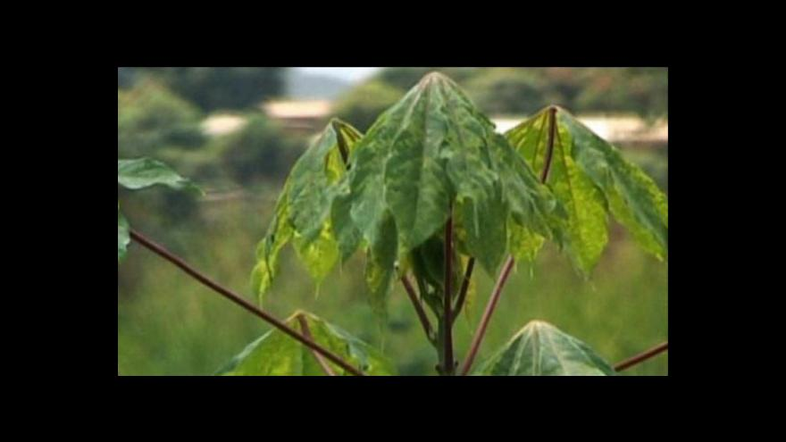 Video Nigerijští vědci vylepšili maniok