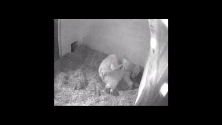 Video Medvědice Cora dvě hodiny po porodu mláděte
