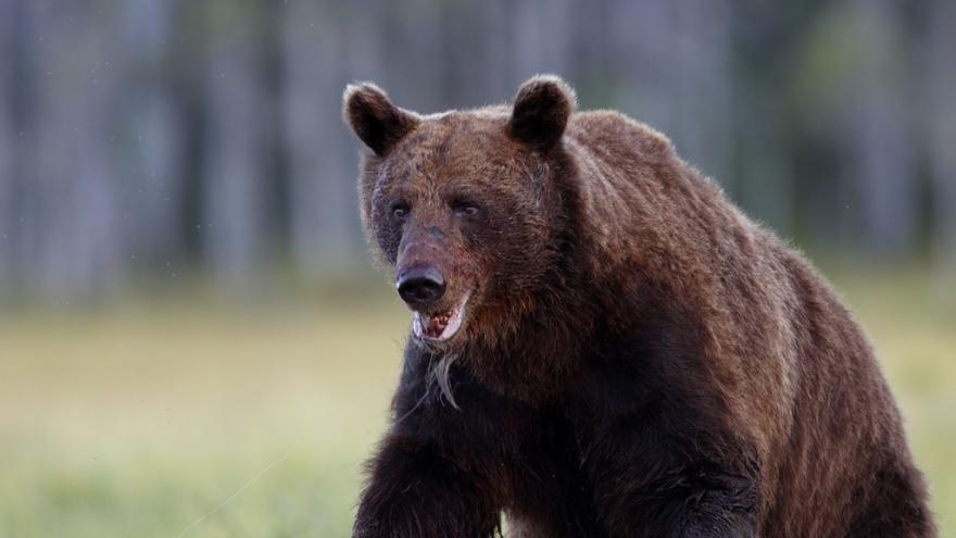 Video Medvěda z Valašska chtějí odborníci odchytit