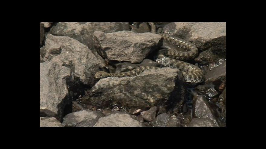 Video Zoolog Roman Zajíček o užovce podplamaté