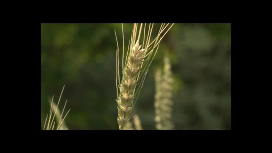 Video Václav Trojan z Mendelovy univerzity o modré pšenici