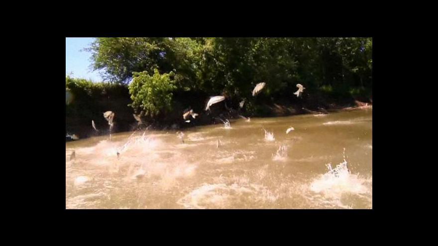 Video Asijský kapr se blíží k Velkým jezerům
