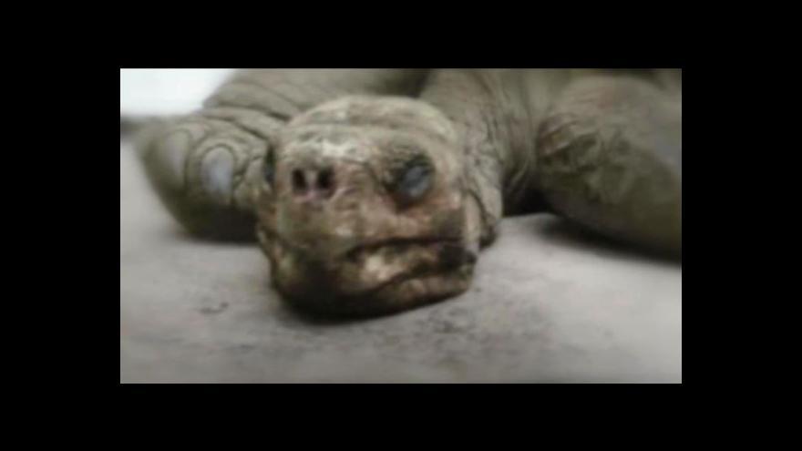 Video Na Galapágách uhynul poslední jedinec vzácné populace želvy sloní