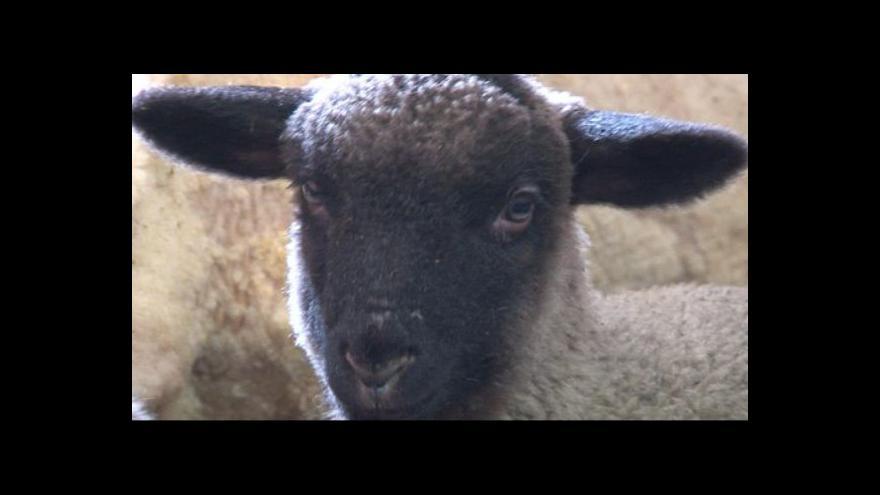 Video Pan Kopecký o stříhání a o ovcích