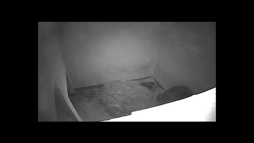 Video NO COMMENT: Medvíďatům už je více než měsíc