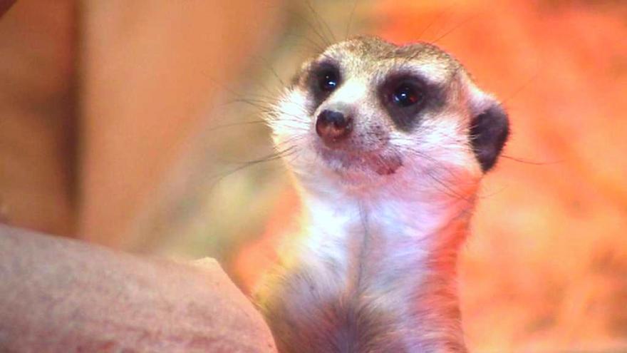 Video Údajné týrání surikat