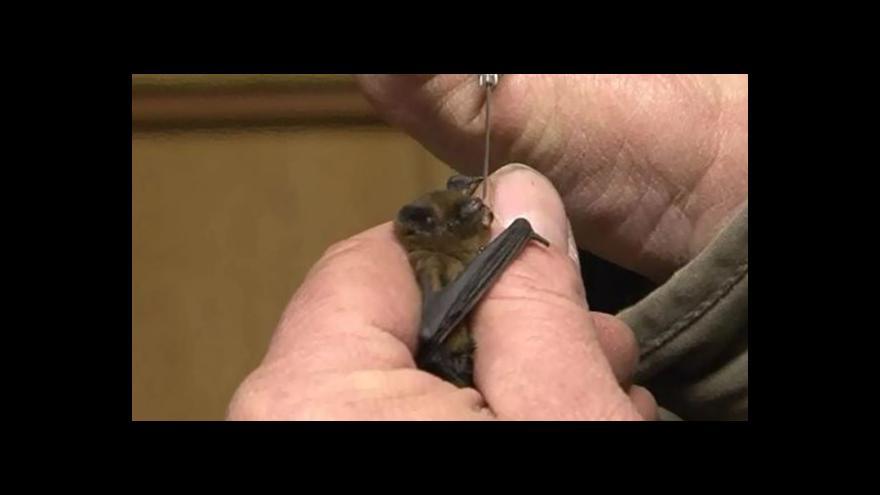 Video Ochranáři se starají o promrzlé netopýry