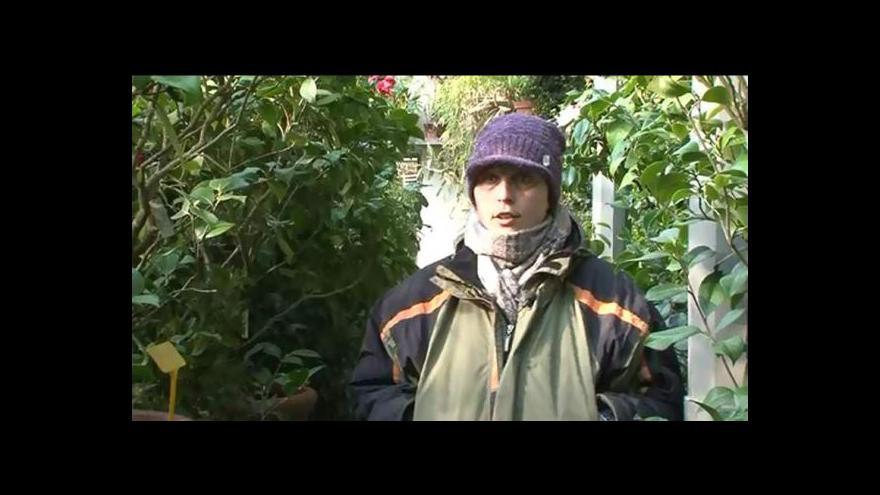 Video O kaméliích hovoří zahradnice Veronika Hájková