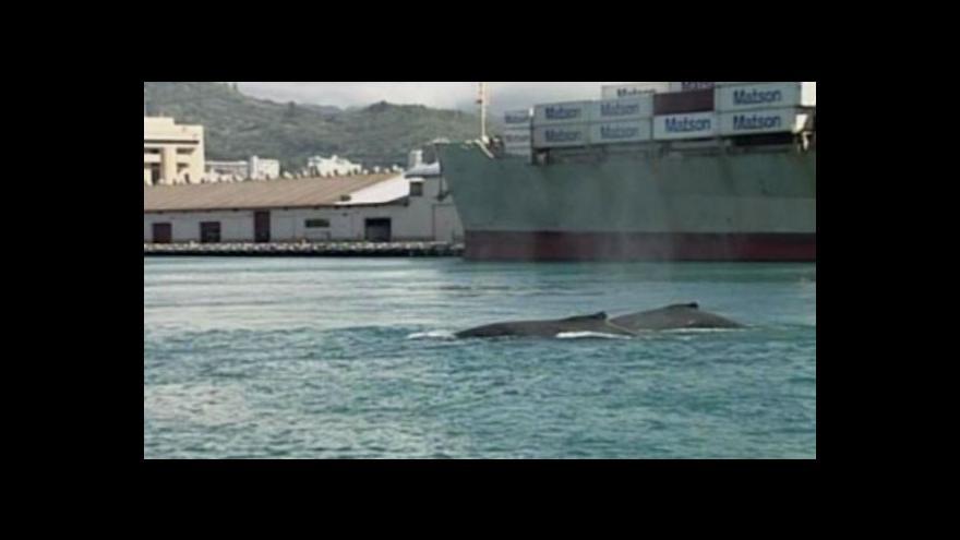 Video Do přístavu v Honolulu zabloudili keporkakové