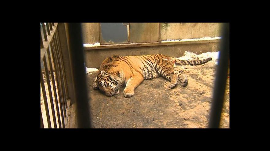 Video NO COMMENT: Stěhování tygra ussurijského Martyho