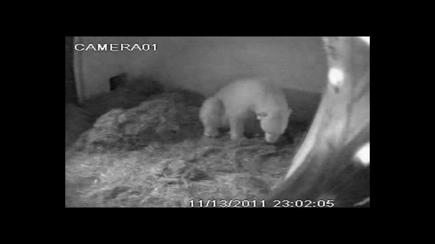 Video Medvědice Cora v porodním boxu