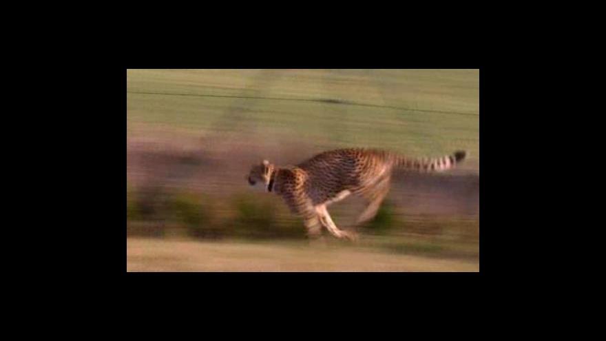 Video Manželé Jüttnerovi chovají velké kočky