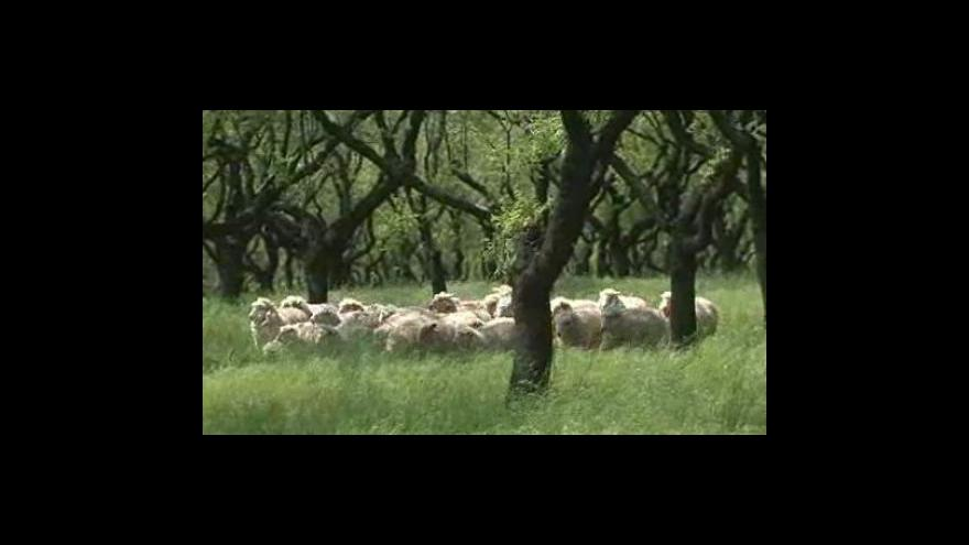 Video Mandloňovým sadem v Hustopečích u Brna se prohání stádo ovcí