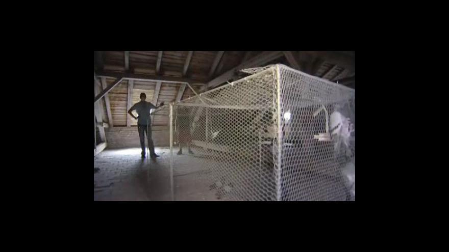 Video No comment: V Hodoníně se snaží odchytávat holuby