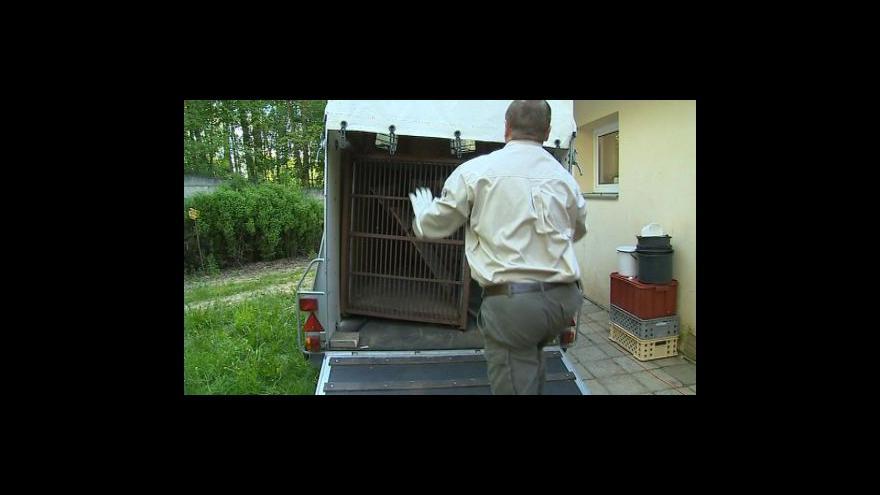 Video No comment: Medvěd Brumbas odjíždí do nového působiště