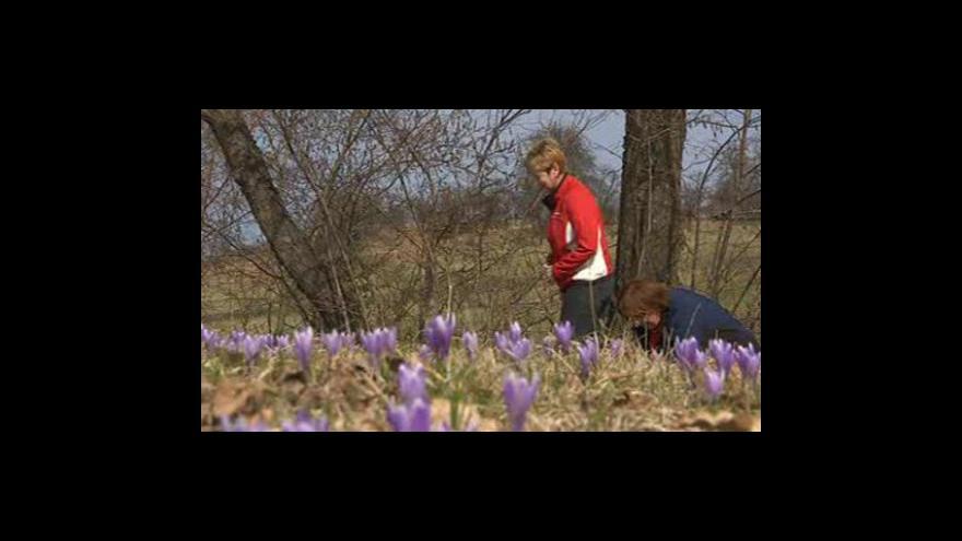 Video Na louce u Lačnova rozkvetly vzácné šafrány