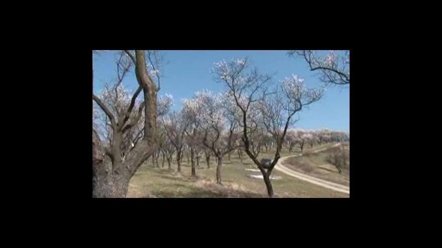 Video Mandloňový sad v Hustopečích u Brna