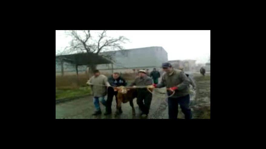 Video NO COMMENT - Zatoulaný býček se vrátil do družstva (záběry z mobilního telefonu Štefana Greguše)