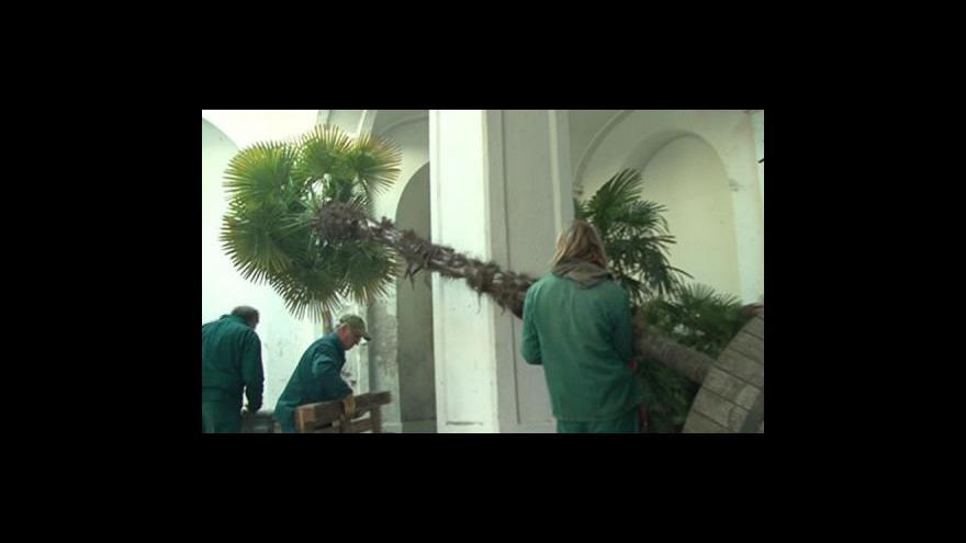 Video zahradní architekt Oto Bernad o zazimování palem