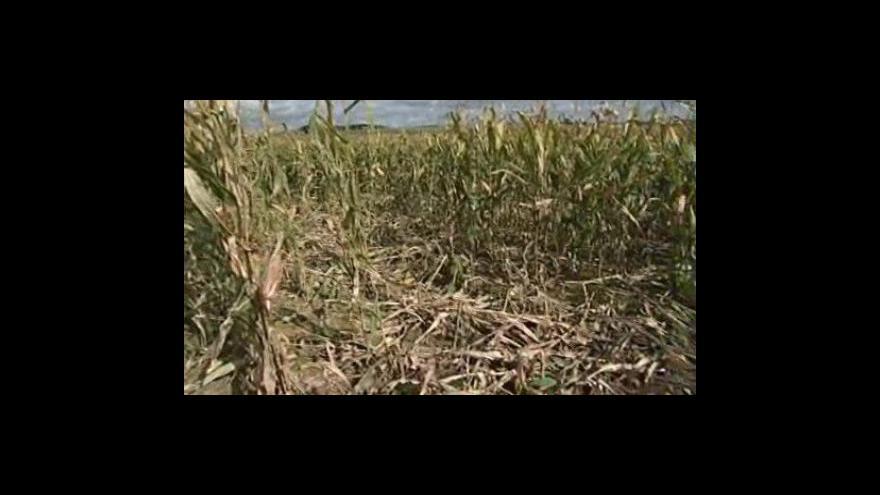 Video Divočáci na Zlínsku likvidují zemědělcům úrodu