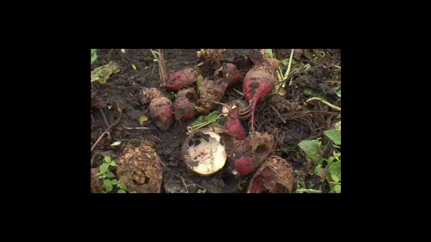 Video Eva Hrudová z Agronomické fakulty Mendlovy univerzity popisuje útoky škůdců
