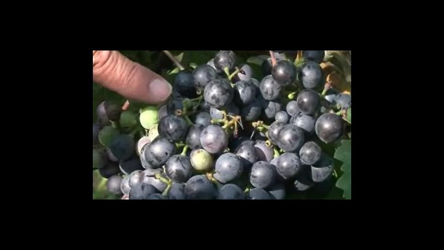 Video Vinaři o napadení vinic špačky