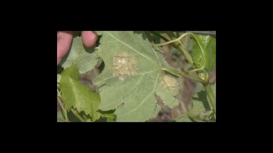 Video Vinaři a odborníci o letošní úrodě vína