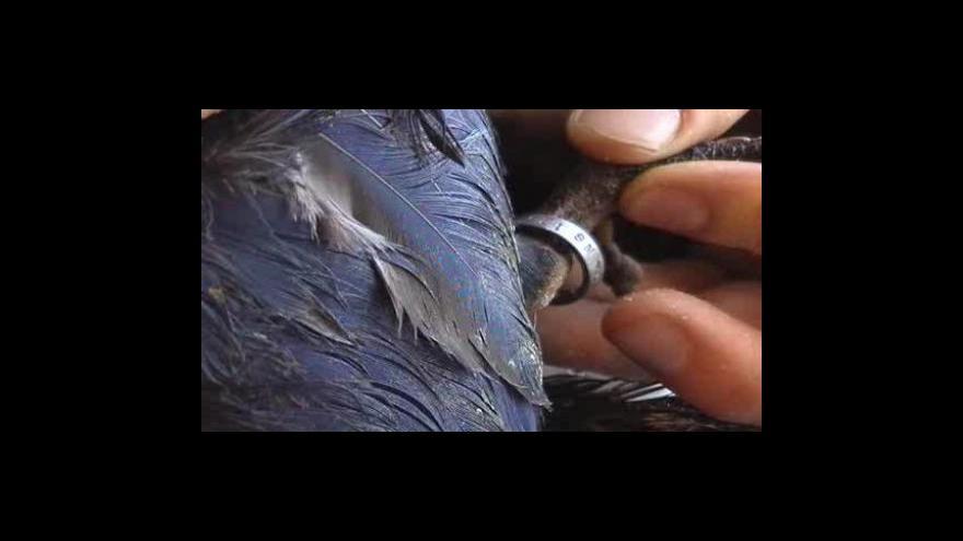 Video Celníci našli ohrožené druhy papoušků (záběry celníků)