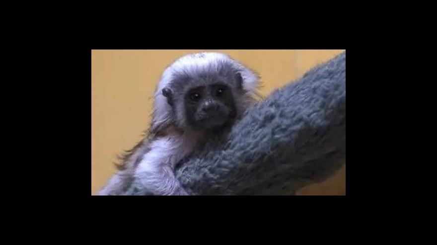 Video O opičího sirotka se stará ošetřovatelka ze Zoo