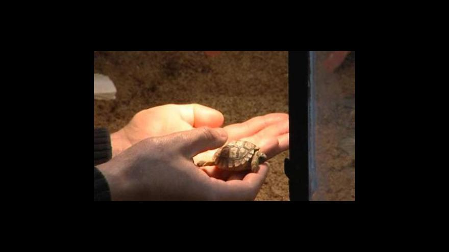 Video Zoolog Pavel Shromáždil popisuje odchov první želvy chilské
