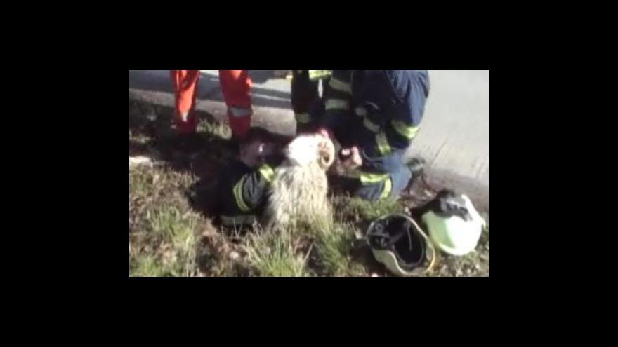 Video Hasiči zachránili uvízlého berana v kanálu
