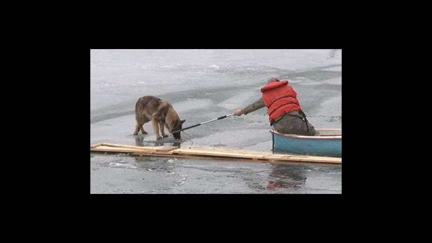 Video Snaha o záchranu vlčáka z ledu křetínské přehrady