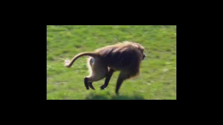 Video Známý uprchlík, opičák Heiko, bude mít nový výběh