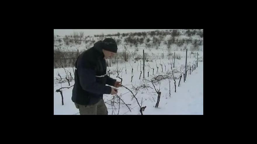 Video Vinaři kontrolují své vinohrady po nedávných mrazech