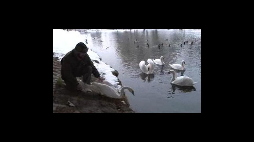Video Ornitolog Zdeněk Machař vypouští labutě na řeku