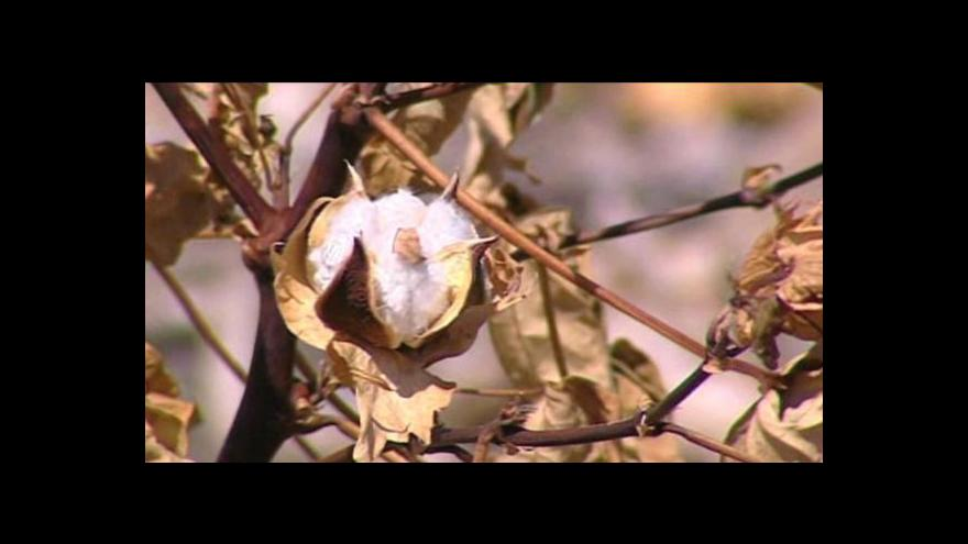 Video Málo bavlny na jihu USA