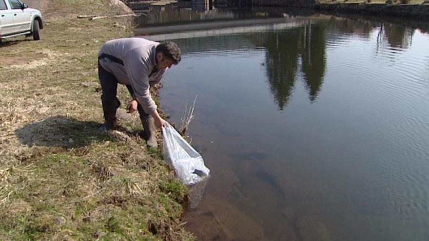Video Rybáři vysazovali do řek úhoře