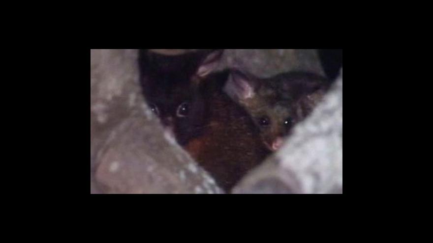 Video Austrálie má problémy s přemnoženými vačicemi