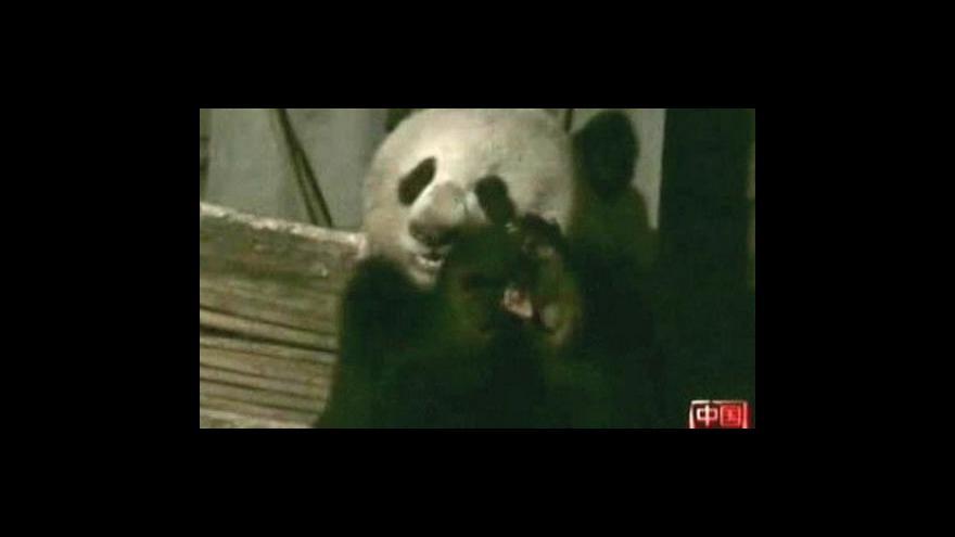 Video Panda se krmí masem
