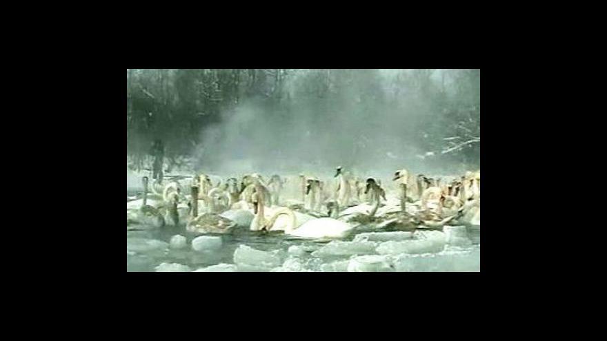 Video Záchrana labutí na Ukrajině